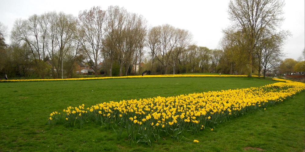 Daffodil Waves